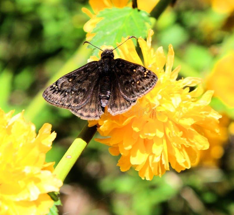 Jaskrawy żółty kwiat z ćma odpoczywa na nim zdjęcia royalty free