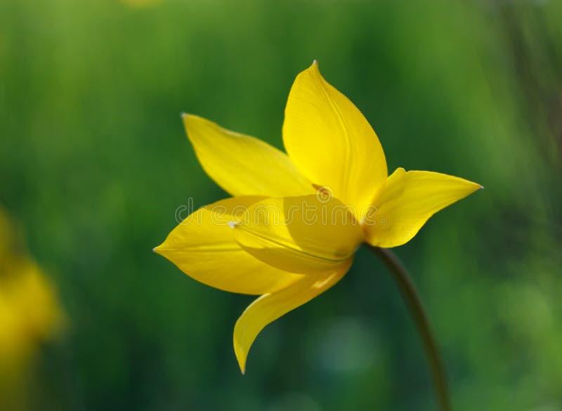Jaskrawy Żółty kwiatu tulipan na zielonym tle zdjęcia royalty free