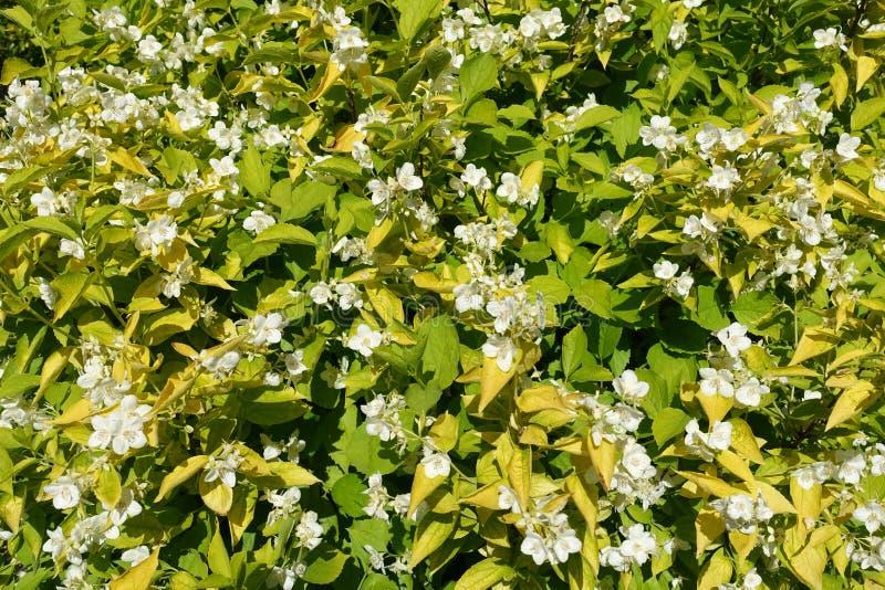 Jaskrawy żółty leafage i biali kwiaty Philadelphus coronarius Aureus zdjęcia royalty free