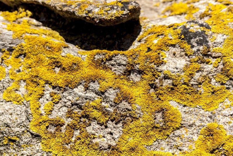 Jaskrawy żółty liszaju dorośnięcie na niezasobnej kamienistej ziemi Rewolucjonistki centrum w Australijskiej pustyni, odludzie w  obrazy royalty free
