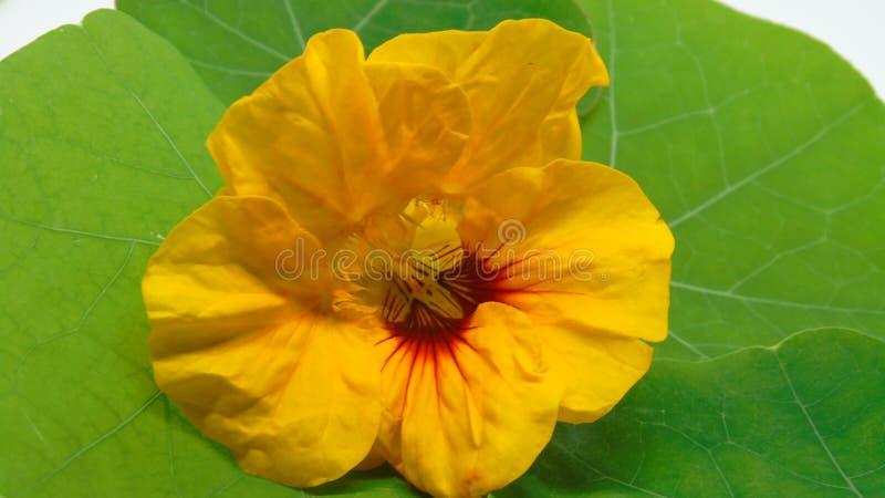 Jaskrawy żółty nasturcja kwiat na zielonym liściu zdjęcia stock