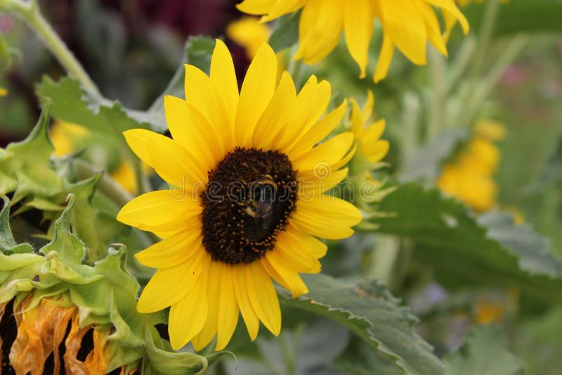 Jaskrawy żółty słonecznik jest uśmiechnięty przy słońcem Słonecznikowy kwiat na odosobnionym tle zdjęcie royalty free