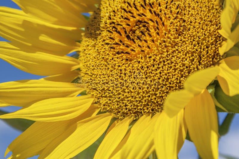 Jaskrawy żółty słonecznik na niebieskiego nieba tle obraz royalty free