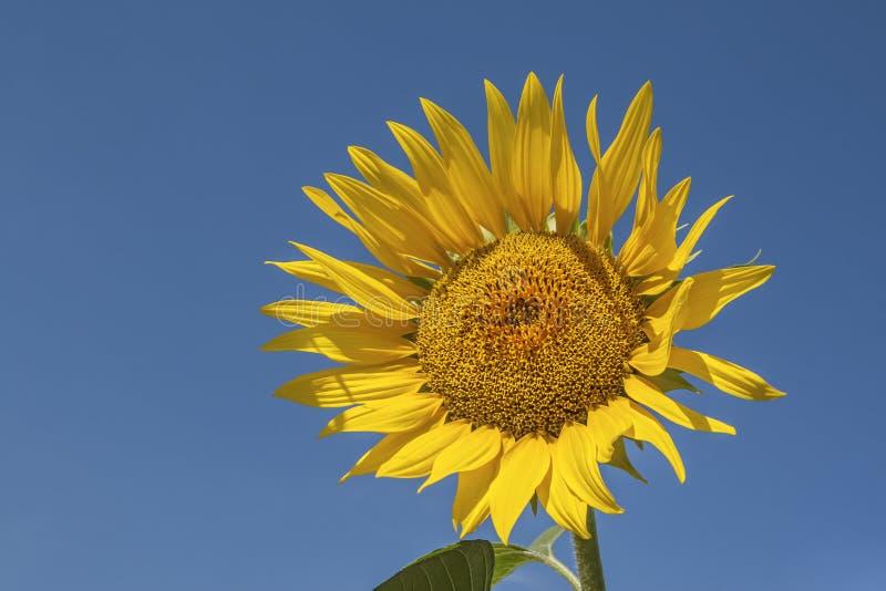 Jaskrawy żółty słonecznik na niebieskiego nieba tle fotografia stock