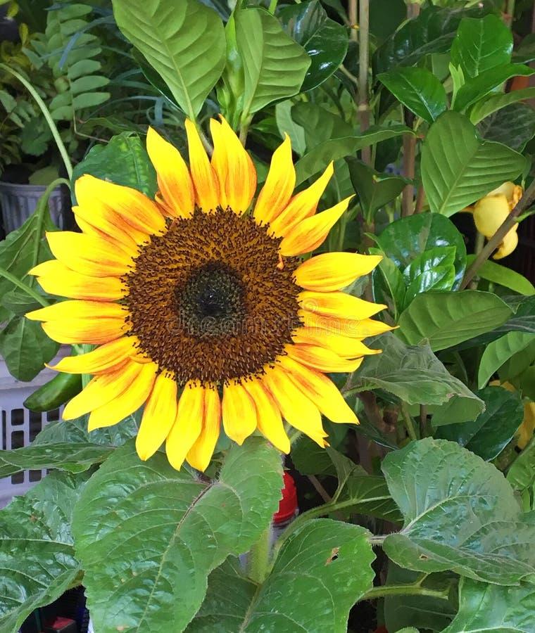 Jaskrawy Żółty słonecznik, Zamyka Up obrazy stock