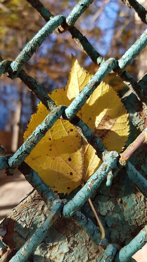 Jaskrawy żółty spadku liścia zbliżenie przez drucianej siatki ogrodzenia obrazy stock