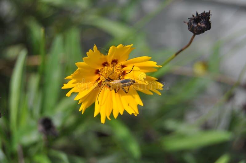 Jaskrawy żółty wildflower z żółtą ścigą fotografia royalty free