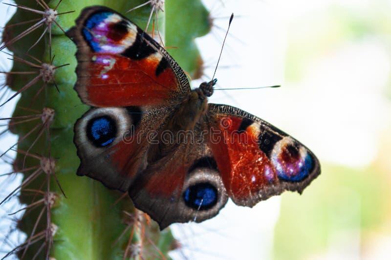 Jaskrawy Admiral motyl na zielonym kaktusie zdjęcie stock