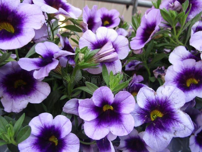 Jaskrawy atrakcyjny kolorowy głęboki - purpurowa petunia kwitnie kwitnienie w wiośnie zamkniętej w górę zdjęcia stock