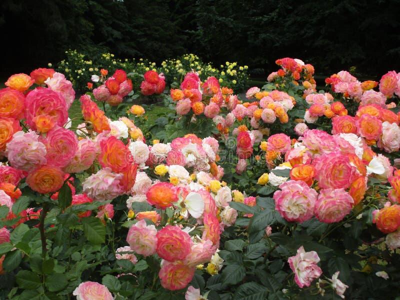 Jaskrawy atrakcyjny kolorowy menchii, koloru żółtego i bielu ogródu zachwyt, wzrastał kwiaty kwitnie w wczesnym lecie przy Stanle fotografia stock