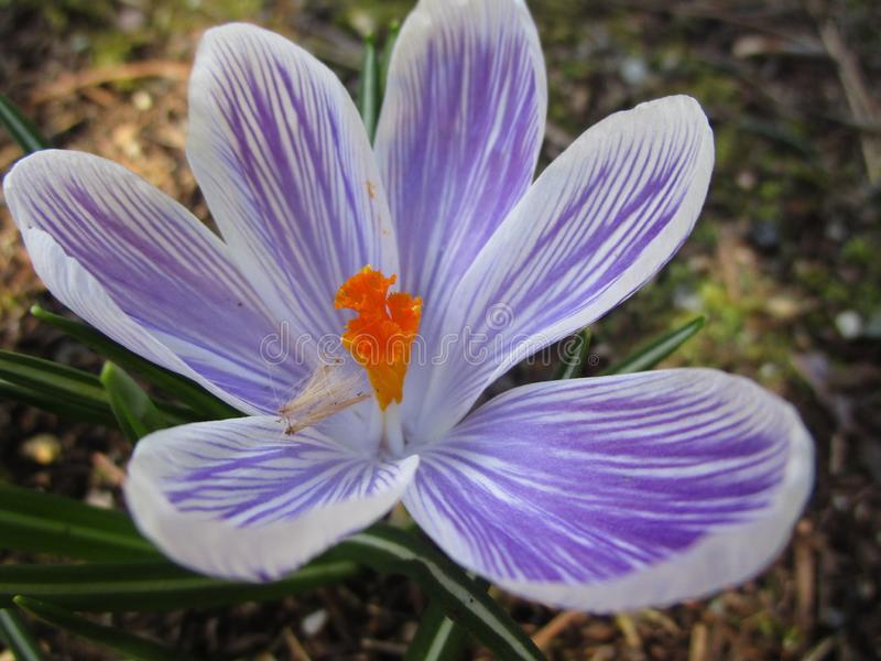 Jaskrawy atrakcyjny słodki lekkiego koloru Whitewell krokusa kwiatu Purpurowy kwitnienie w wiośnie w ogrodowy 2019 obraz royalty free