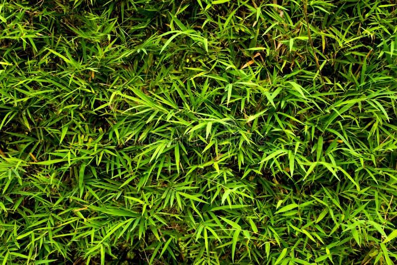 Jaskrawy bambus opuszcza tło Świeżego lata naturalna tapeta obraz stock