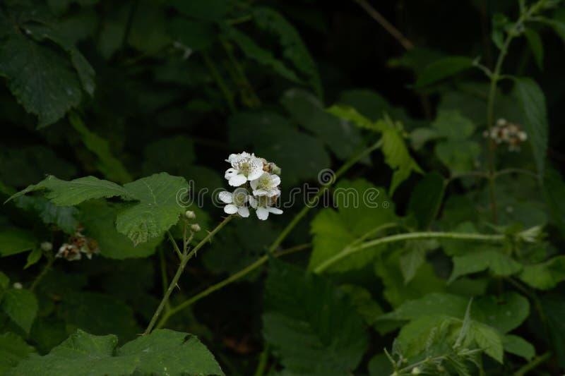 Jaskrawy biały Jeżynowy kwiat, Rubus fruticosus fotografia royalty free