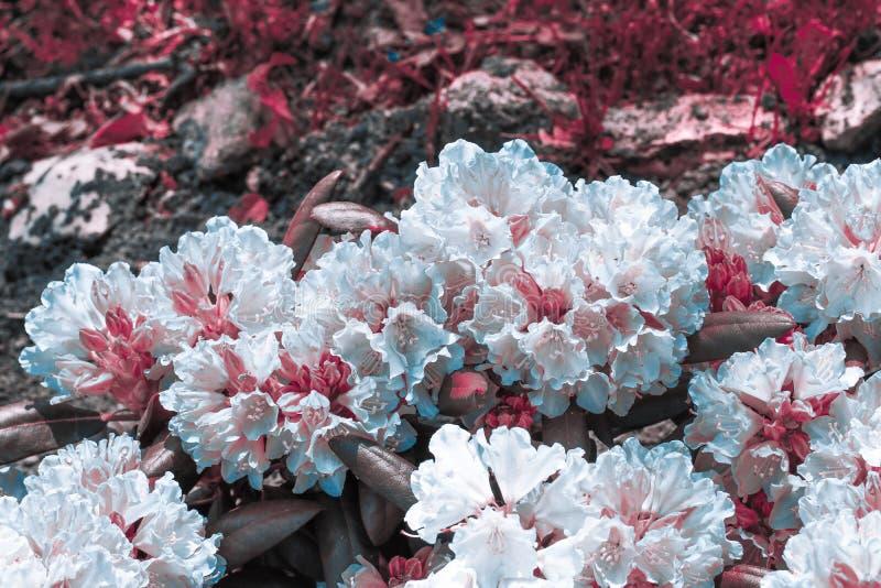 Jaskrawy biel różowią tropikalnych kwiaty zamkniętych w górę tła trawa i kamienie na obrazy stock