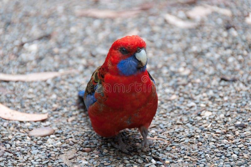 Jaskrawy Ciemnopąsowy Rosella ptak zamknięty w górę tło plama zamazywał chwyta frisbee doskakiwania ruch zdjęcia stock