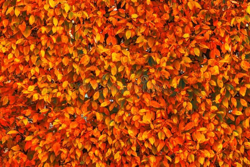 Jaskrawy czerwieni i pomarańcze jesieni spadek opuszcza tło Kolorowy zdjęcia royalty free