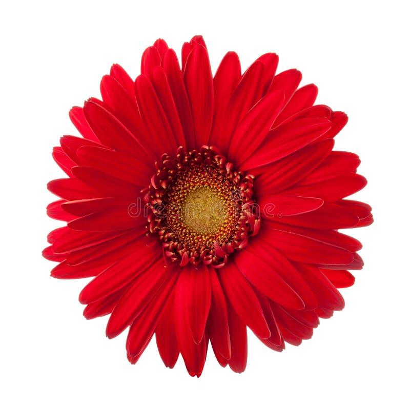 Jaskrawy czerwony gerbera kwiat odizolowywający na białym tle obraz stock