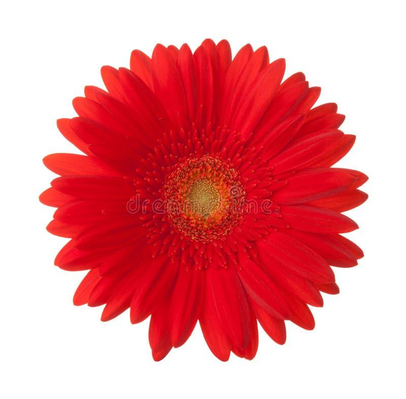 Jaskrawy czerwony gerbera kwiat odizolowywający na białym tle zdjęcia stock