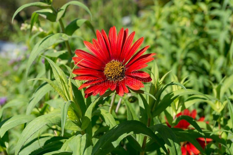 Jaskrawy czerwony gerbera kwiat zamknięty w górę tła zdjęcie royalty free