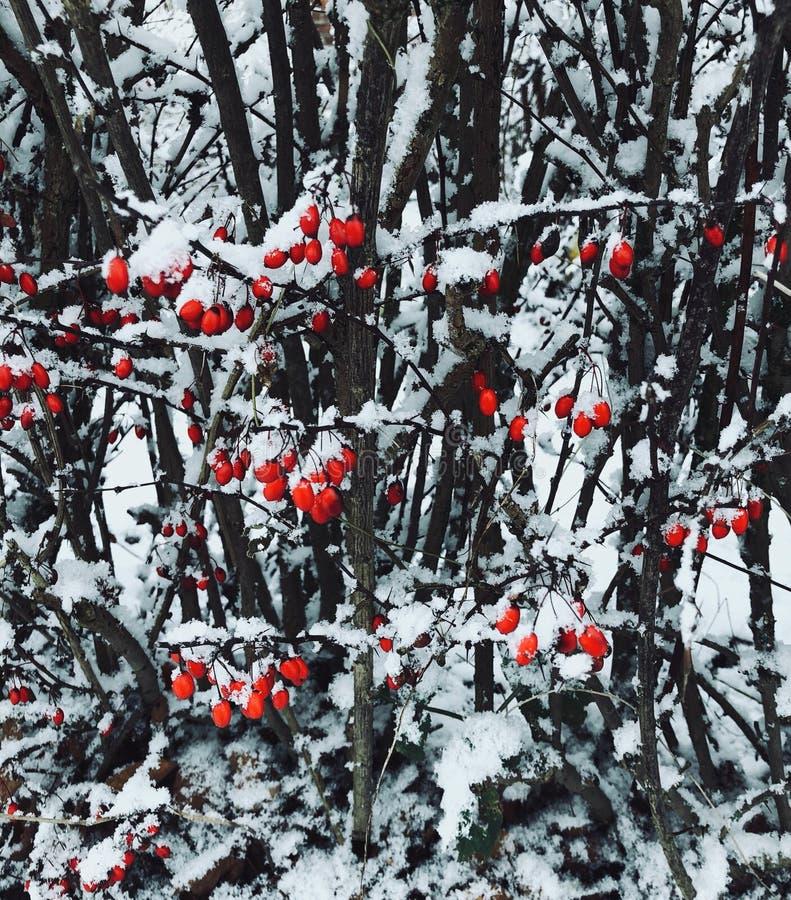 Jaskrawy czerwony jagodowy cierniowaty krzak zakrywający z śniegiem zdjęcie royalty free