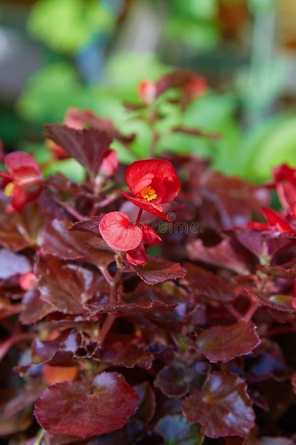 Jaskrawy czerwony kwiat lato kwietnikowej rośliny begoni semperflorens zdjęcie stock