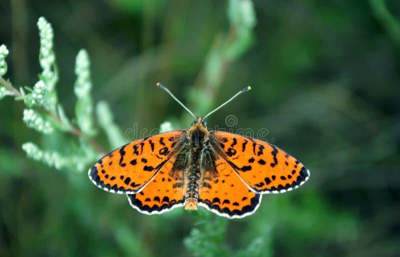 Jaskrawy czerwony motyl na łące Footed motyle zbliżenie obrazy royalty free