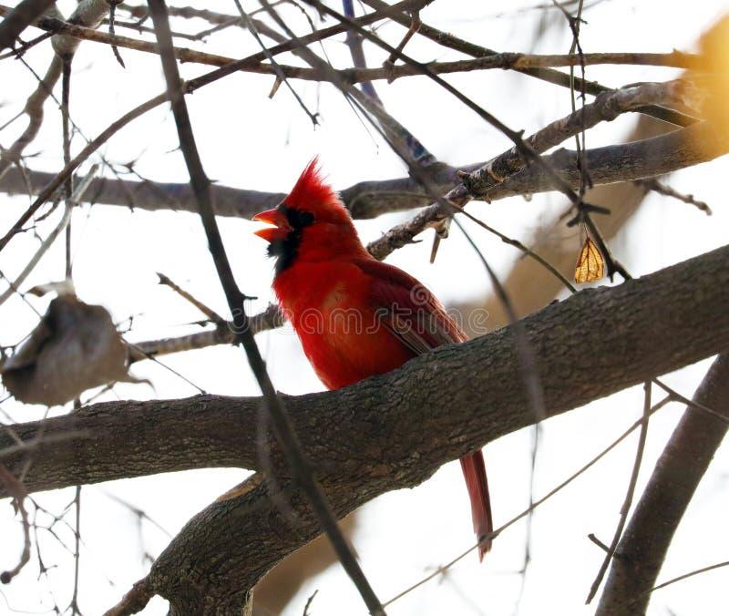 Jaskrawy czerwony północny główny śpiewacki ptasi męski kolorowy obraz stock