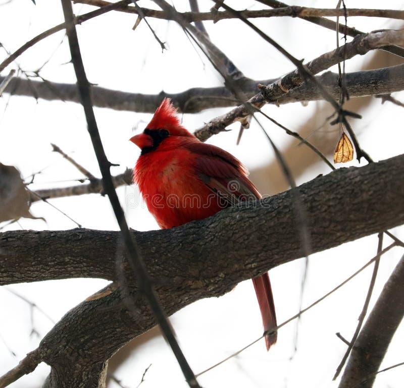 Jaskrawy czerwony północny główny śpiewacki ptasi męski kolorowy fotografia stock