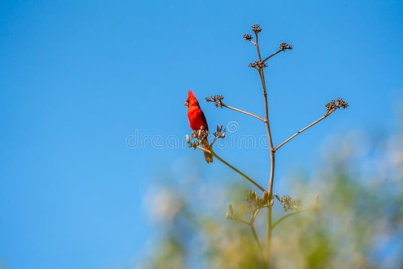 Jaskrawy Czerwony Północny kardynał umieszczał na agawy gałąź w Sonoran pustyni zdjęcie royalty free