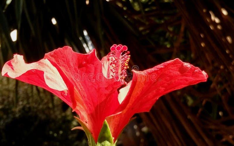 Jaskrawy czerwony poślubnika kwiat w ogródzie z słońce połyskiem wśrodku Zakończenie zdjęcia stock