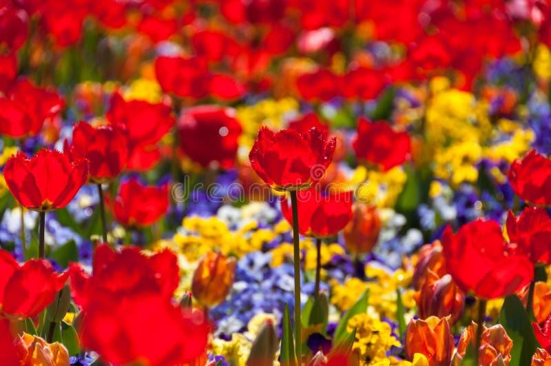 Jaskrawy czerwony tulipan na śródpolnym zakończeniu w górę zdjęcie royalty free