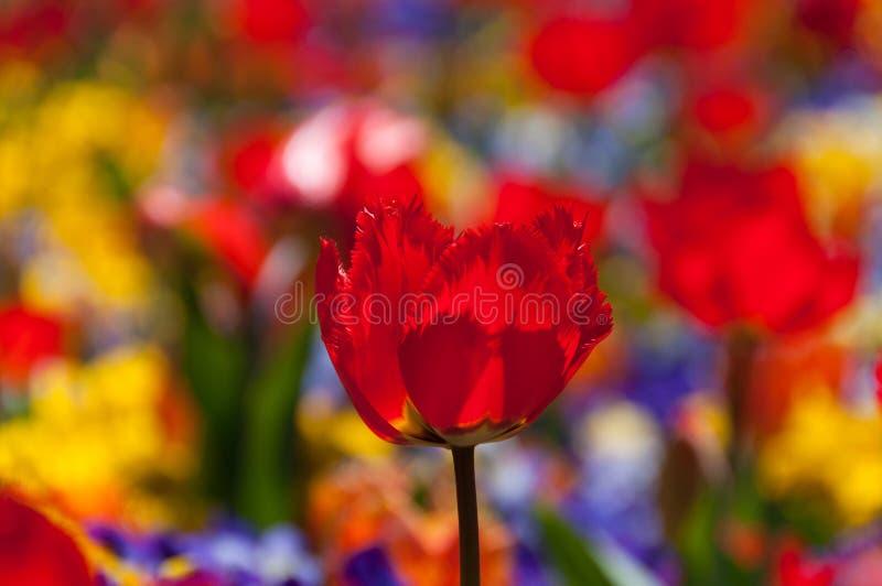 Jaskrawy czerwony tulipan na śródpolnym zakończeniu w górę obraz royalty free
