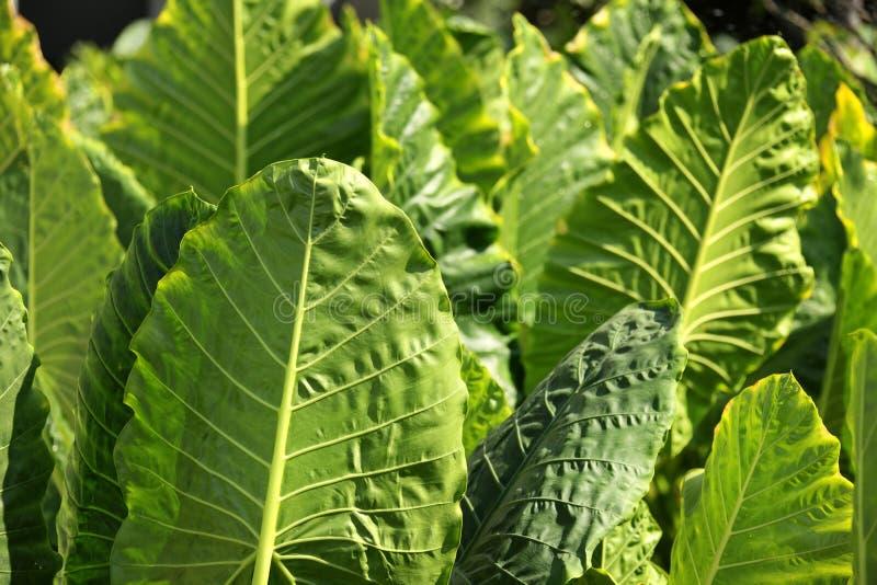 Jaskrawy duży zielony liścia szczegół od rośliny w formalnym ogródzie fotografia stock