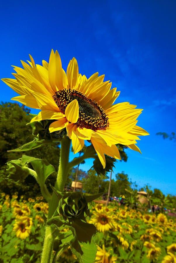 Jaskrawy dzień z słonecznikiem zdjęcia stock
