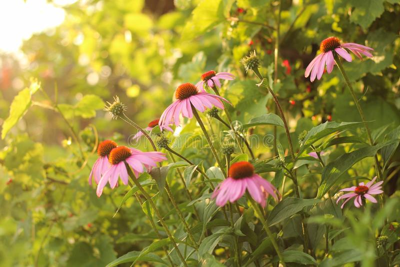 Jaskrawy Echinacea purpurea w świetle słonecznym Piękni purpurowi coneflower kwiaty obraz stock