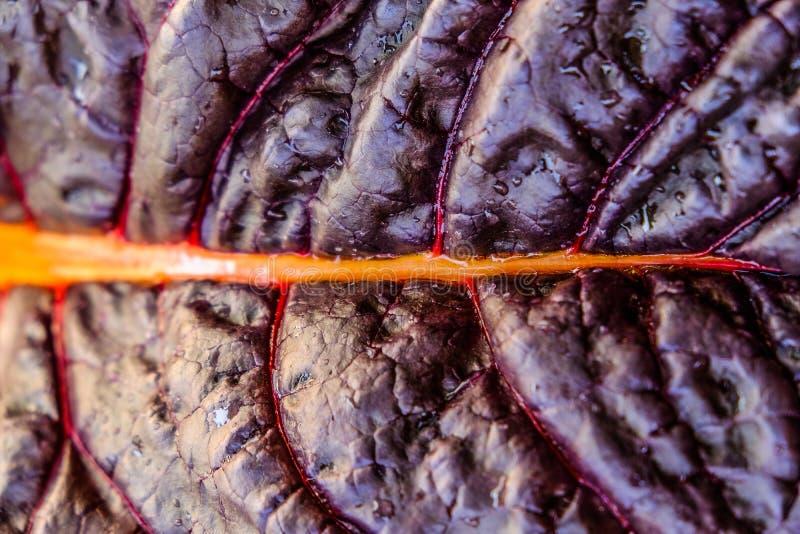 Jaskrawy fiołkowy Burgundy świeży ćwikłowy makro- w górę zdjęcia royalty free