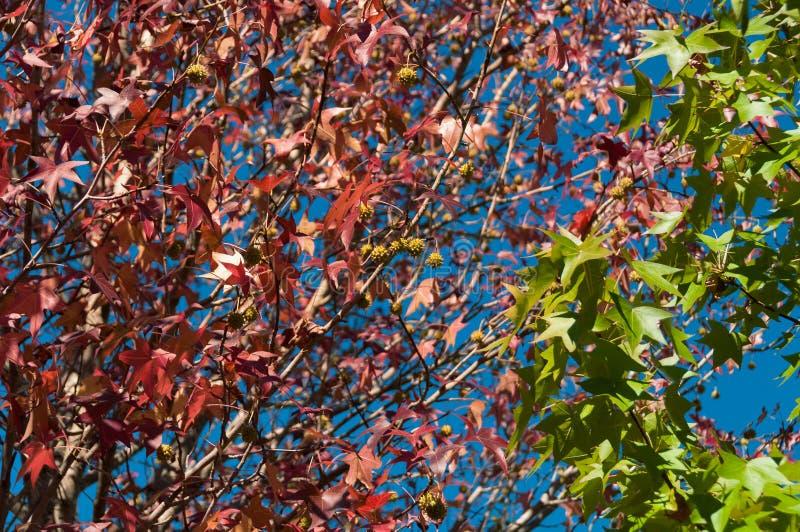 Jaskrawy i żywy jesieni ulistnienia tło przeciw niebieskiemu niebu zdjęcie stock