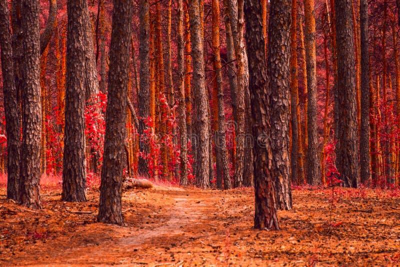 Jaskrawy i bajecznie jesień las z wysokimi drzewami zdjęcie royalty free