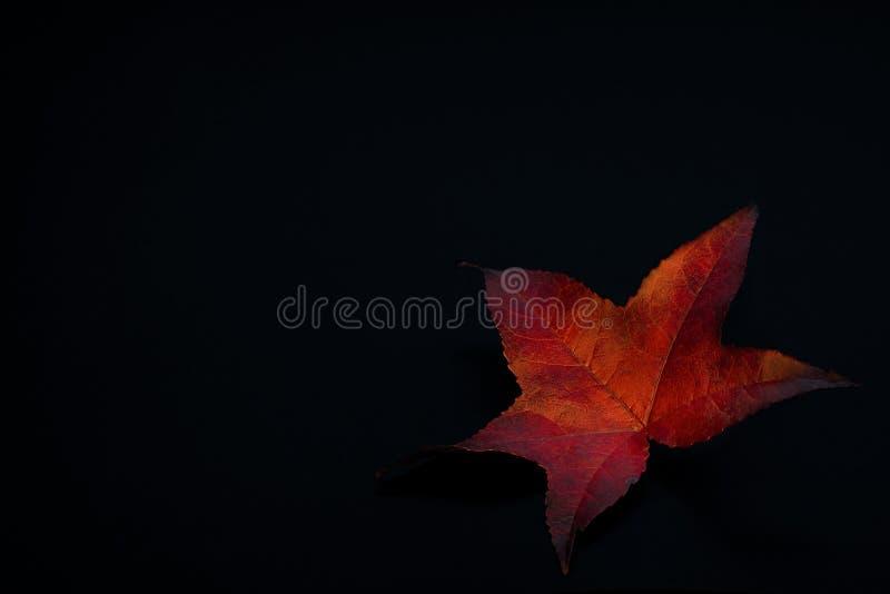 Jaskrawy i kolorowy jesienny barwiony liść zdjęcie royalty free
