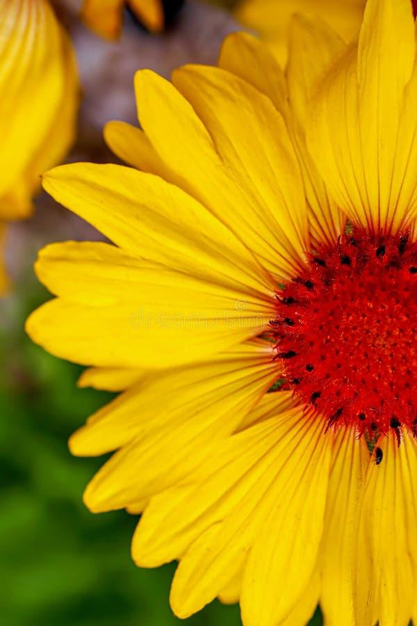 Jaskrawy I Kolorowy Makro- Żółty lato kwiat zdjęcia stock