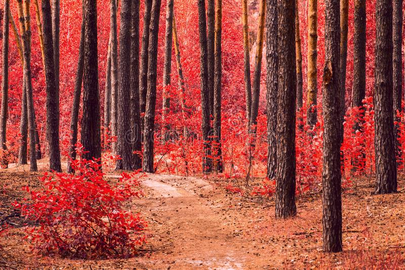 Jaskrawy i tajemniczy jesień las z czerwonego ulistnienia wysokimi drzewami obraz stock