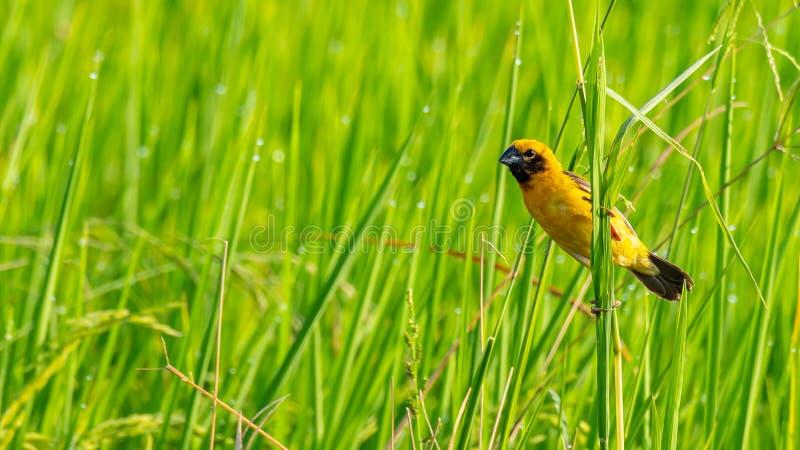 Jaskrawy i yellowish męski Azjatycki Złoty tkacza tyczenie na trawa trzonie, patrzeje w odległość zdjęcia stock