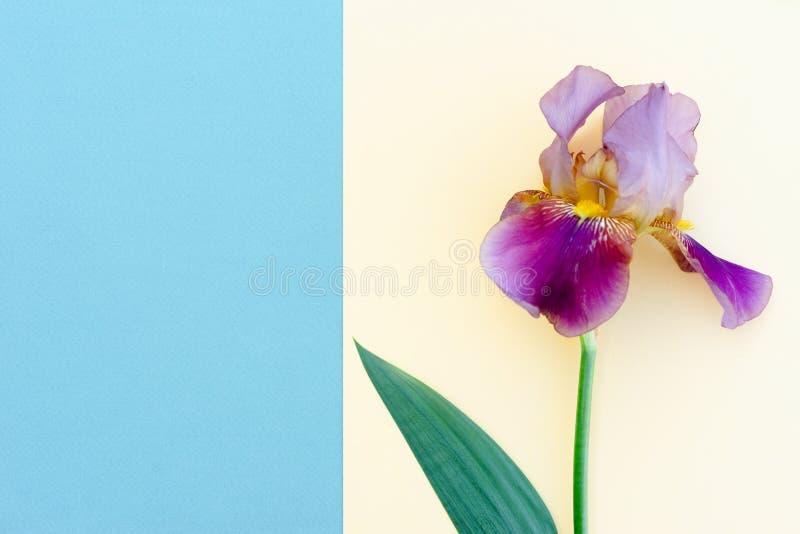 Jaskrawy irysowy kwiat na barwionym koloru żółtego i błękita tle z sp zdjęcie royalty free