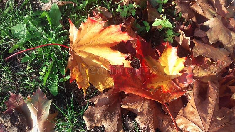 jaskrawy jesień kolory Yellowed liście Zielona trawa chodź jesieni obraz stock