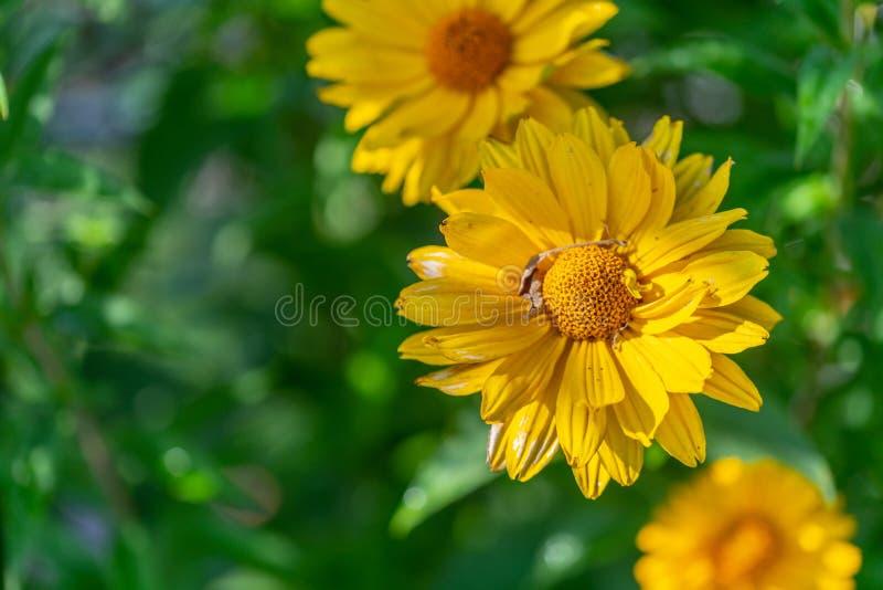 Jaskrawy kolor żółty kwitnie w ostrości obraz royalty free
