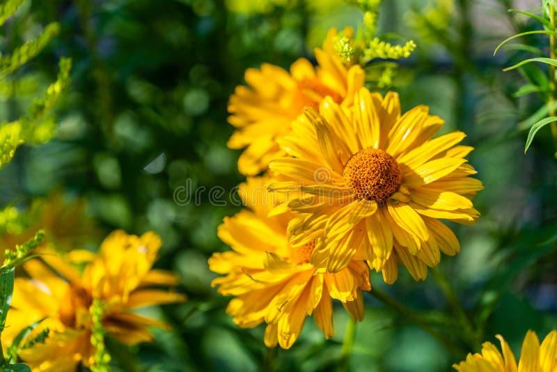 Jaskrawy kolor żółty kwitnie w ostrości obraz stock