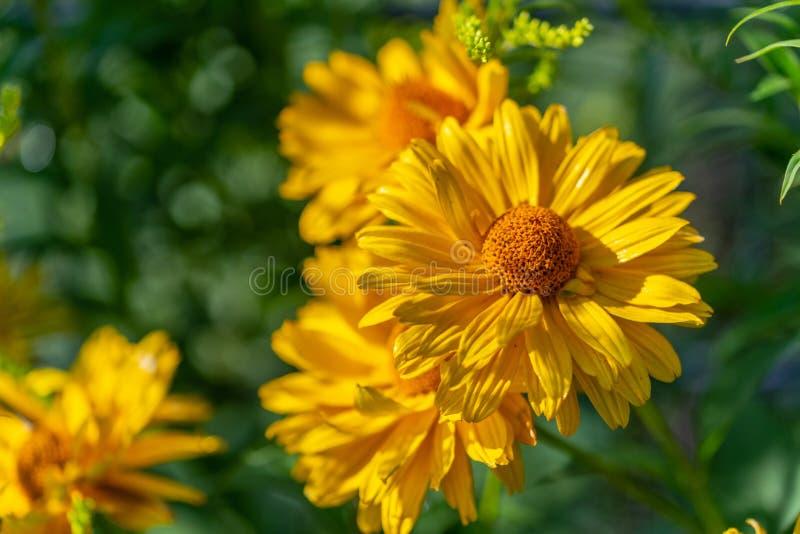 Jaskrawy kolor żółty kwitnie w ostrości obrazy stock