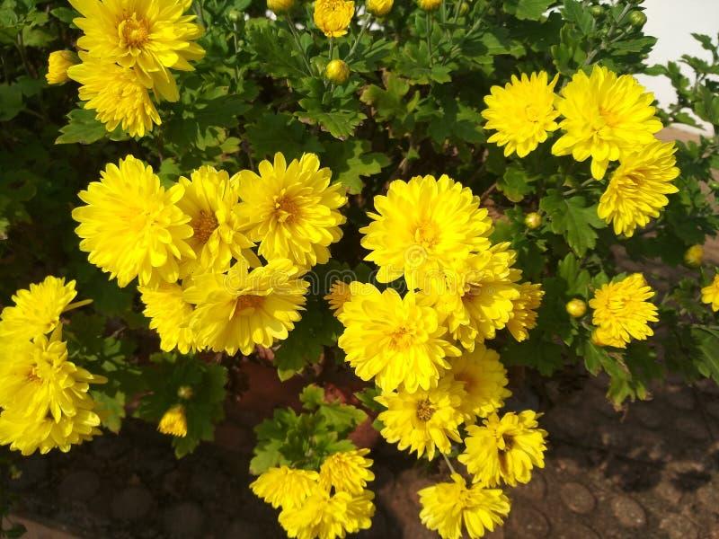 Jaskrawy kolor żółty kwitnie z bardzo przyjemnym spojrzeniem obrazy stock