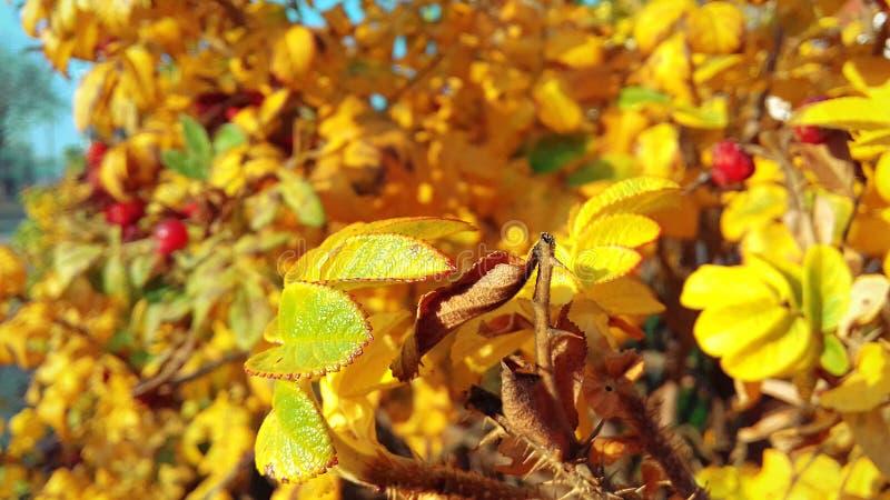 Jaskrawy krzak z kolorem żółtym opuszcza w wszystkie swój chwale fotografia stock
