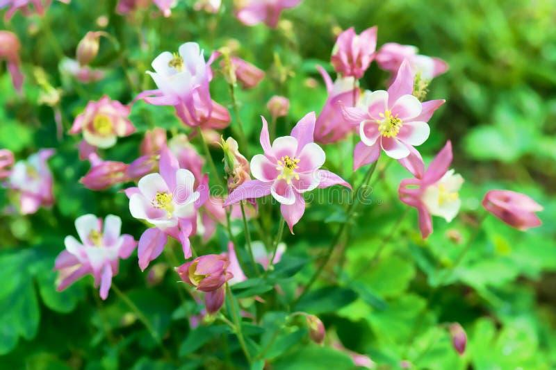 Jaskrawy kwiecisty tło z pięknymi menchii i białych kwiatami Aquilegia zdjęcia royalty free